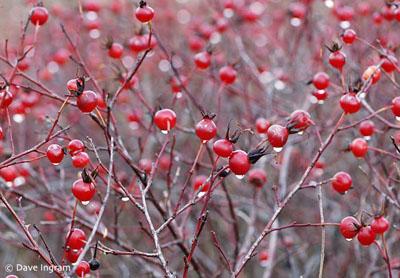 Nootka rose hips photo by Dave Ingram