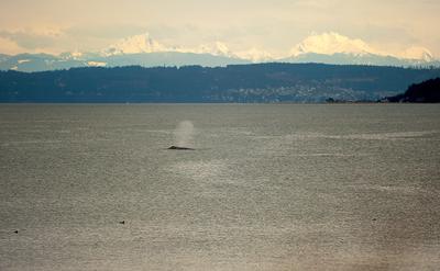 grey whale in Penn Cove, Whidbey Island, WA