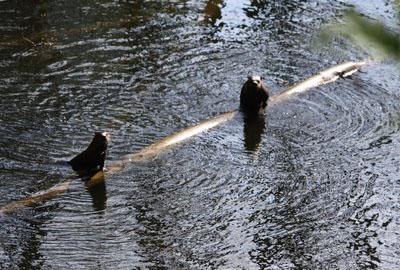Lummi otters