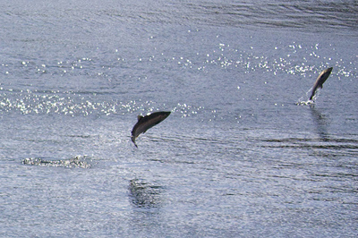 leaping salmon photo by Kent Smith