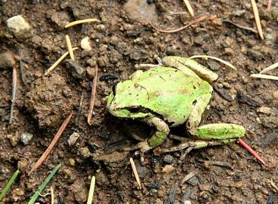 Lummi Island tree frog