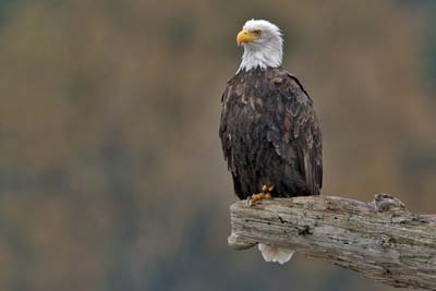 bald eagle on snag