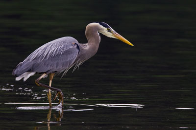 Great Blue Heron, Seabeck Landing, Bainbridge Island, Washington