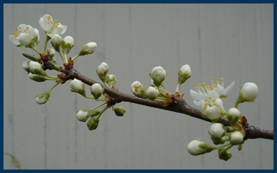 plum buds photo by j.i. kleinberg