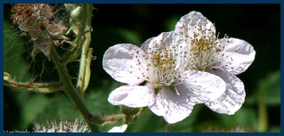 blackberry blossoms photo by Lyn Topinka