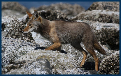 beach coyote by Andrew Reding