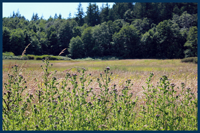 Lummi meadow
