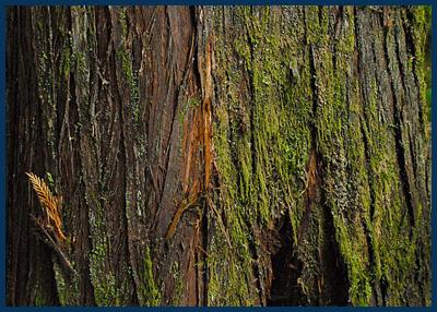 Western Red Cedar bark