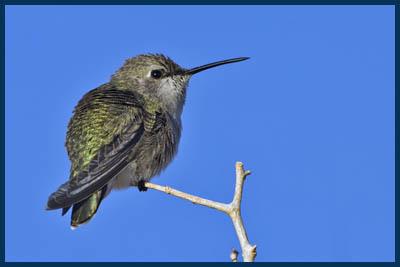 Anna's Hummingbird Copyright © 2007, Elaine R. Wilson