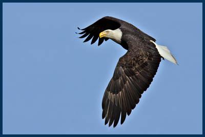 Bald Eagle, Morris Valley Road, Harrison Mills, British Columbia