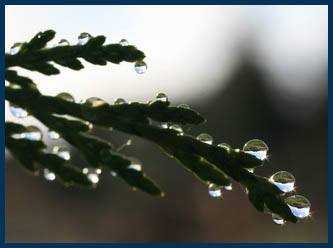 raindrops on cedar