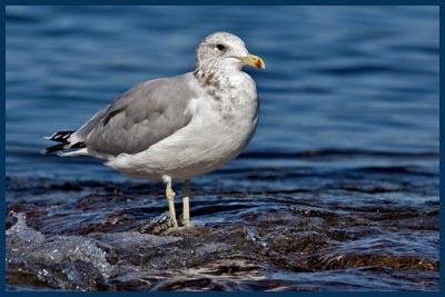 California Gull, Clover Point, Victoria, British Columbia