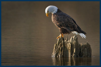 Bald Eagle (Adult), Harrison River At Sunset, Near Chilliwack, British Columbia