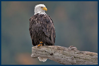Bald Eagle (Adult), Harrison River, Near Chilliwack, British Columbia