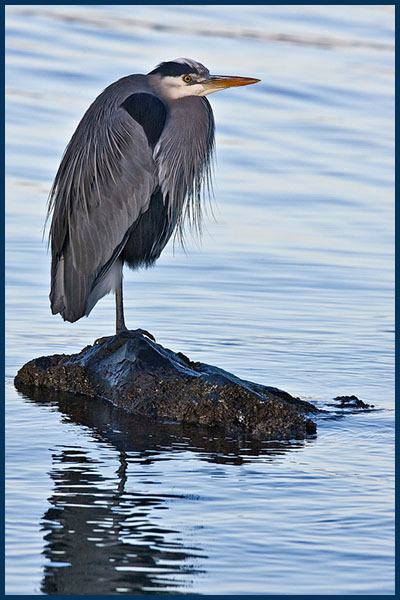 Great Blue Heron, Blackie Spit Park, Crescent Beach, British Columbia